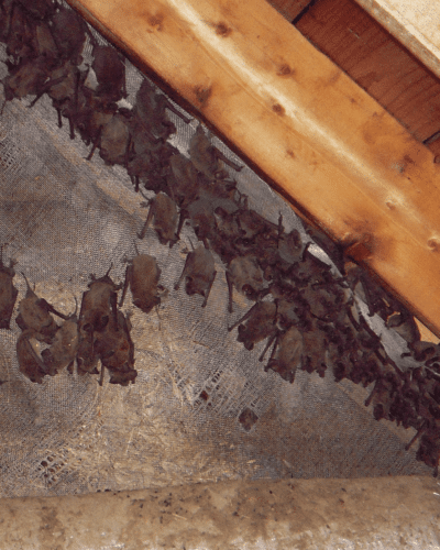 bats and bat droppings