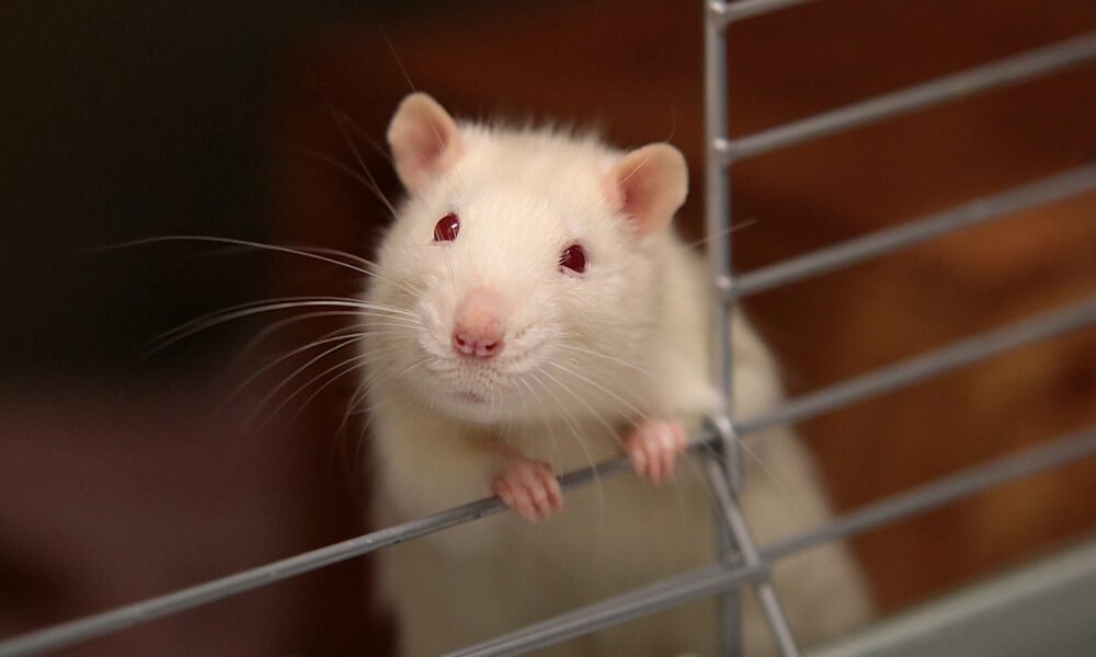 guide to rats