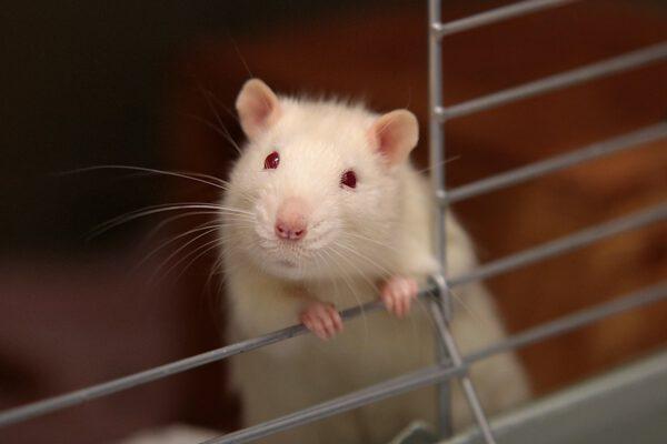Rats in Alabama, Mississippi, and Louisiana