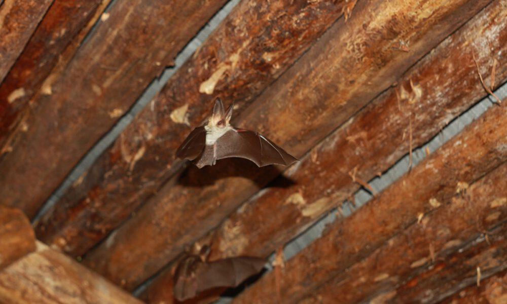 what is bat poop called
