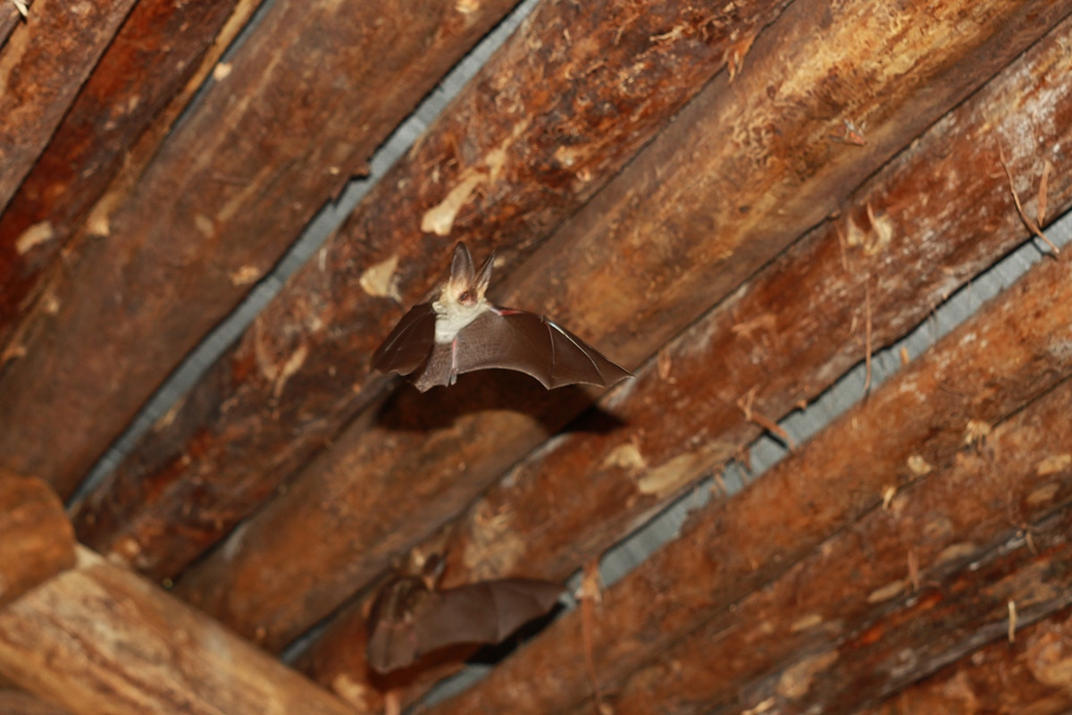 What Is Bat Poop Called And Why Is It Dangerous