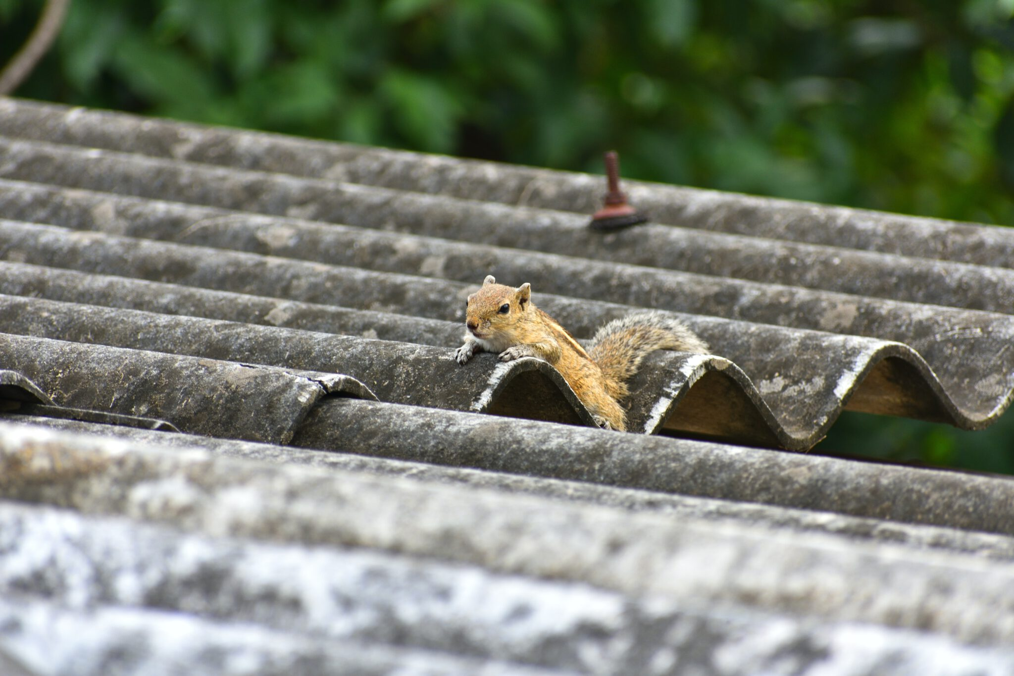 attic squirrel