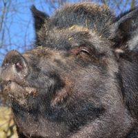 Alabama Wild Boar- deadly animals