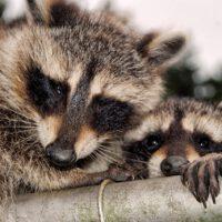 keep raccoons off